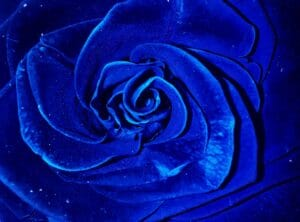 extreme close up shot of a blue rose in bloom